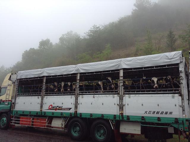 北海道から牛たちがきました