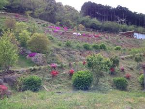 芝桜とツツジ