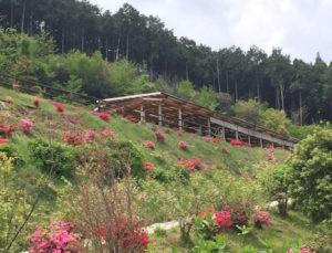 牧場に咲くツツジ