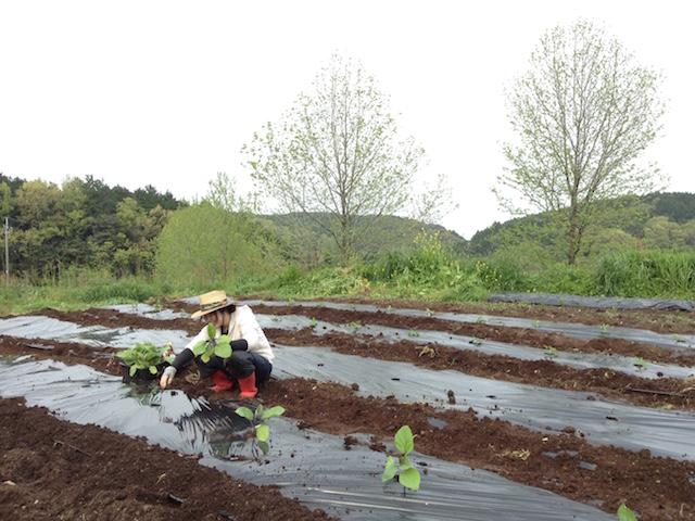 牧場の畑で夏野菜の苗植え