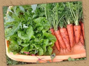 最近とれた野菜
