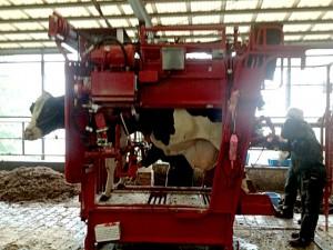 削蹄機に入っている牛